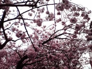 造幣局 桜の通り抜け 2015 Part4(福禄寿)