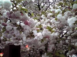 造幣局 桜の通り抜け 2015 Part4(紅笠)