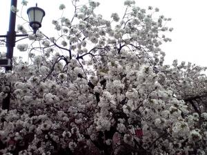 造幣局 桜の通り抜け 2015 Part4(大島桜)