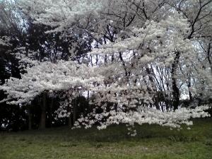 大泉緑地の桜 2015 双ヶ丘の桜(地面すれすれの桜)