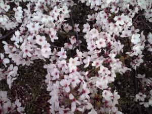 大泉緑地の桜 2015 双ヶ丘の桜(見下ろして撮影した桜)