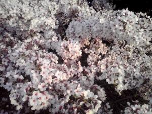 大泉緑地の桜 2015 双ヶ丘の桜(密集した桜)