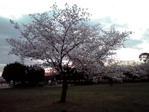 大泉緑地の桜 2015 桜広場(朝焼けと桜 その2)