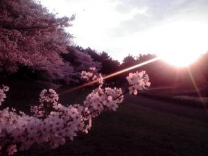 大泉緑地の桜 2015 朝日と双ヶ丘の桜
