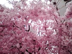 2013年4月2日 四天王寺夕陽丘で撮影した桜