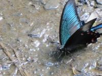 羽の上側は青く輝き、下は赤い点々