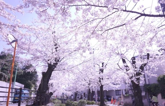 3月最後の桜 (5)