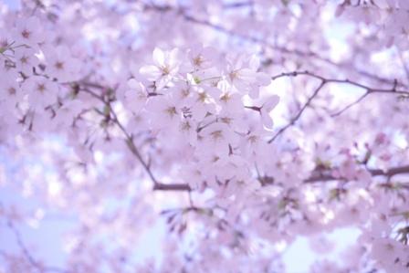 3月最後の桜 (6)