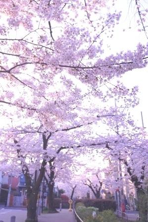 3月最後の桜
