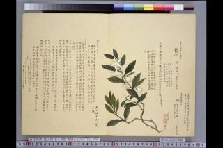 梅園草木花譜夏之部「橘(ミカン)」
