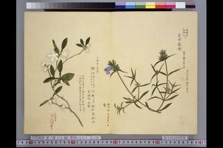梅園草木花譜夏之部「柚」
