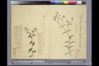 梅園草木花譜夏之部卷6「紫草」