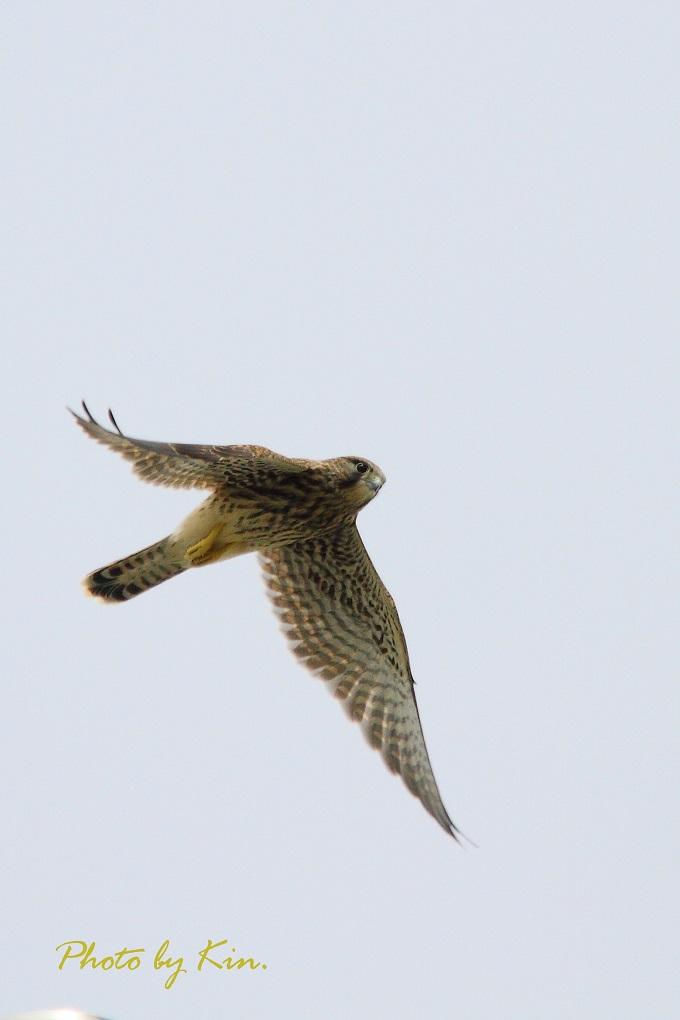 チョウゲンボウ、飛翔!