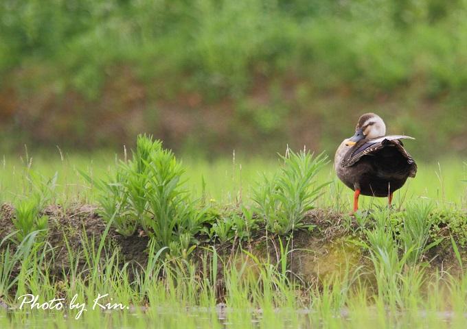 田んぼで鳥見