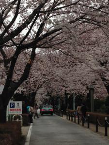 桜 ・・・ 青山霊園