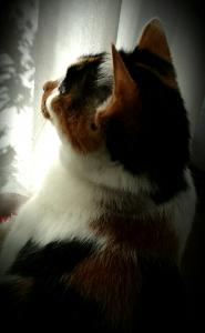 三毛猫如月