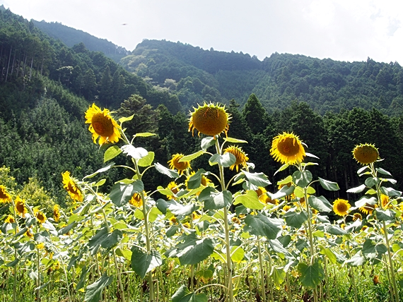 himawari-20150814-05s.jpg