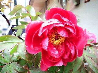 150420_3044雨に濡れている近所の芍薬の花VGA