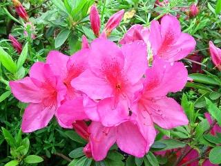 150421_3045近所のツツジの花VGA