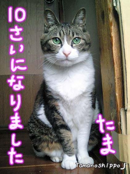 おすまし猫(たま)10歳