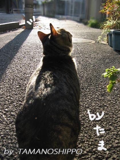 お散歩する猫(たま)