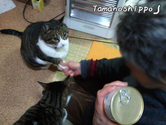 お手をする猫(たま)