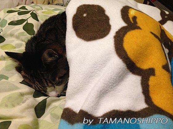 お布団をかけて寝る猫(ちび)