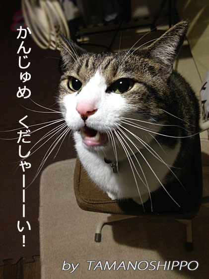 ご飯(缶詰め)を欲しがる猫(ちび)