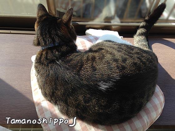 出窓で寛ぐ猫(ちび)