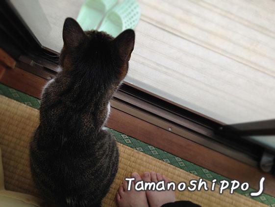 網戸 越しにお外を眺める猫