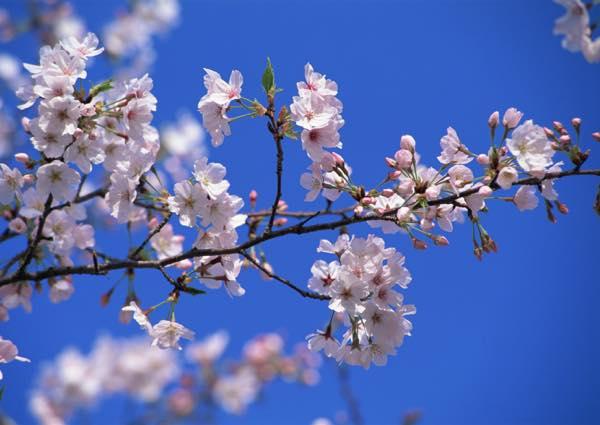 桜FA177