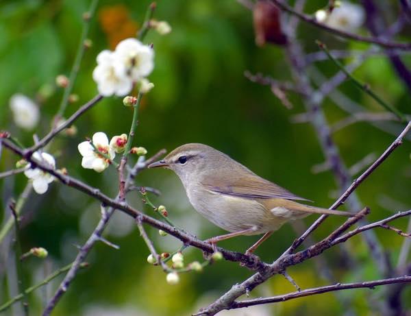 梅にウグイス0211