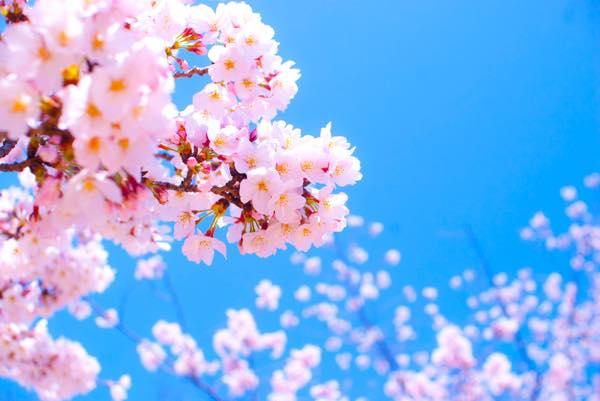 桜0318
