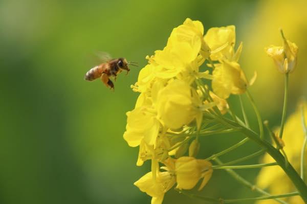 菜の花とニホンミツバチ