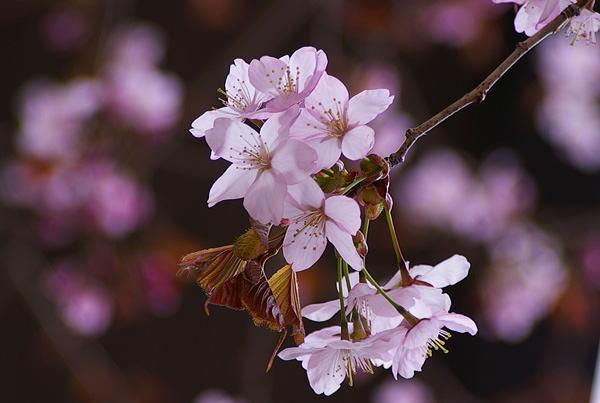 山桜0422
