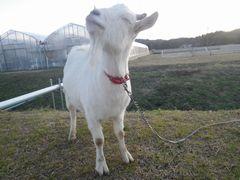 [写真]目をつぶりながら空を見上げるヤギのアラン