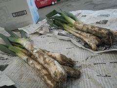 [写真]三郎畑で収穫された長ネギ