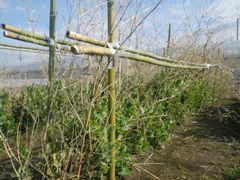 [写真]三郎畑のサヤエンドウに竹笹を立てたところ