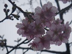 [写真]雨の中、咲き始めた河津桜(カワヅサクラ)