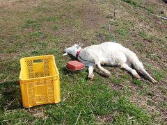 [写真]暖かな陽射しの下で、のびのびと昼寝するアラン