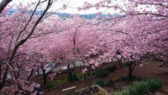 [写真]君津・コスモチェリーガーデンの寒桜