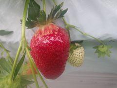 [写真]3番果の大粒