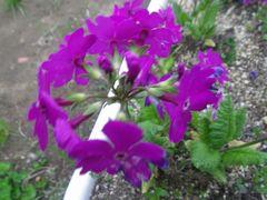 [写真]ニホンサクラソウが咲いている様子