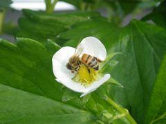 [写真]いちごの花にとまって受粉作業中のミツバチ