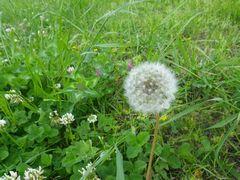 [写真]農園の敷地に咲くタンポポの綿毛