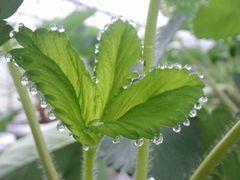 [写真]親苗の新葉の葉先に水滴がついている様子