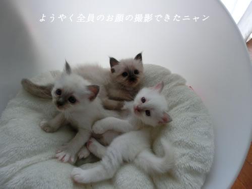 幸運を運ぶバーマン子猫 - メニー ミカエルマーメイド -