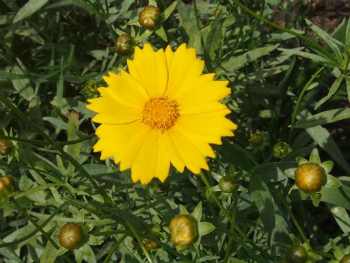 20150530・植物04・オオキンケイギク