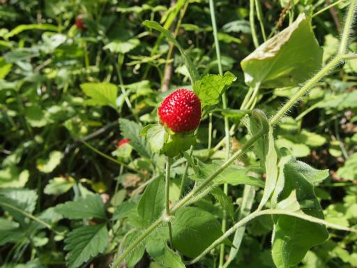 20150530・植物05・ヤブヘビイチゴ