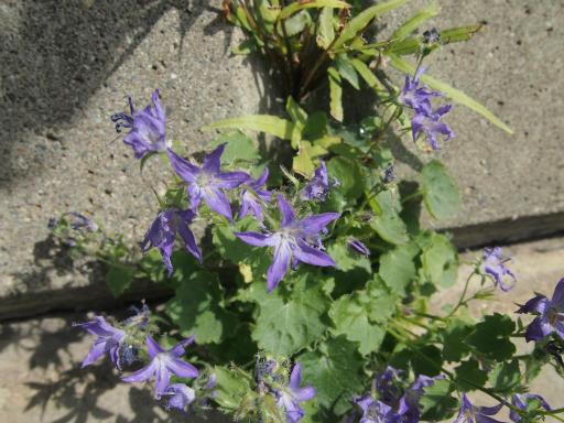 20150530・植物03・カンパニュラ・アルペンブルー